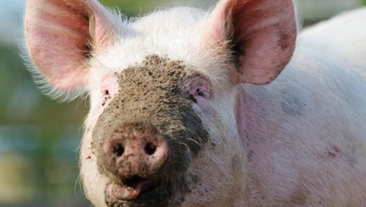 muddy-pig530